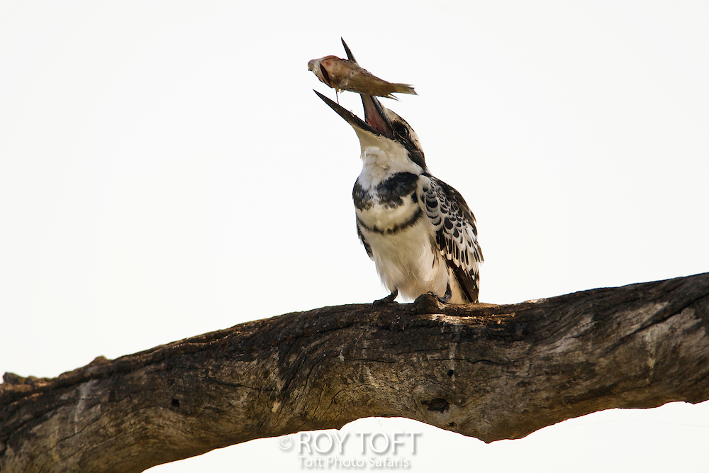 Pied Kingfisher (Ceryle rudis) perched on tree branch tossing a fish into its beak, Botswana.