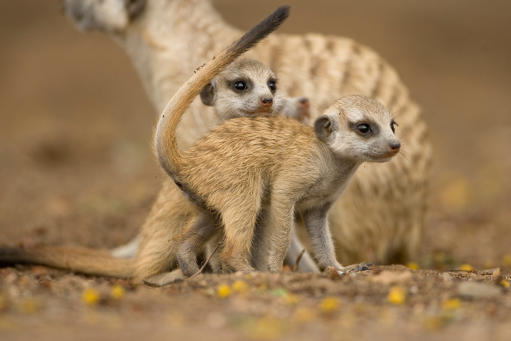 Africa, Namibia, Keetmanshoop, Meerkat Pups (Suricate suricatta) standing together while exploring outside burrow in Namib Desert
