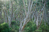 Oceania; Australia; Australian; Down Under; Victoria; Great Otway National Park, Eucalyptus Forest