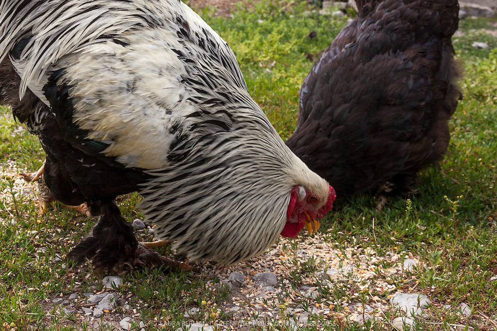 Heritage breed Dark Brahma rooster and Black Jersey Giant hens scratch in the barnyard.