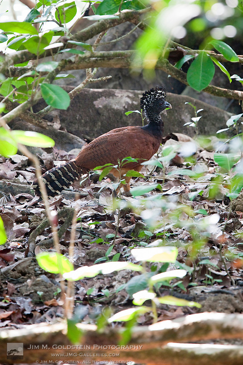 Profile of a female Great Curassow (Crax rubra) on the jungle floor of Corcovado National Park, Costa Rica