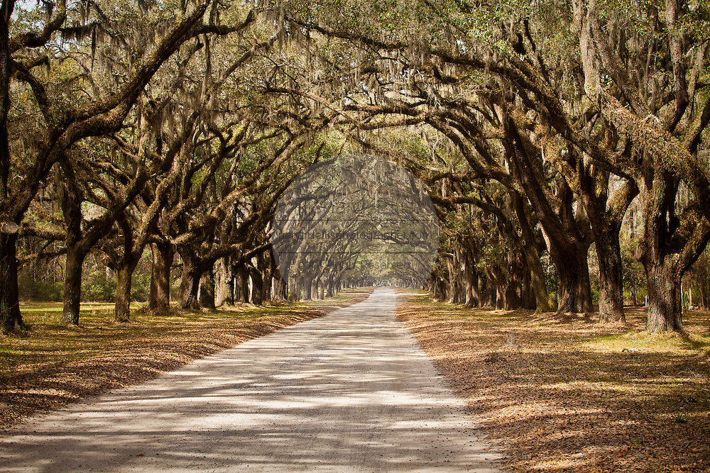 Stately live oak avenue at Wormsloe Plantation in Savannah, Georgia, USA.