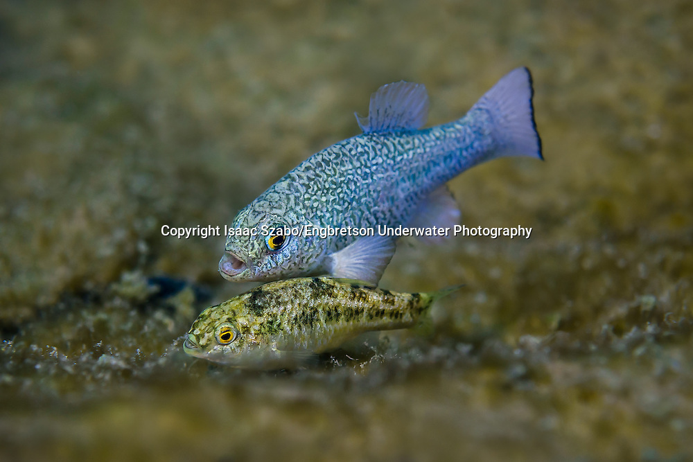 Comanche Springs Pupfish (male and female courtship)<br /> <br /> Isaac Szabo/Engbretson Underwater Photography