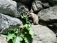 A young raccoon on the rocks at Glen Span at the North Woods in Central Park.