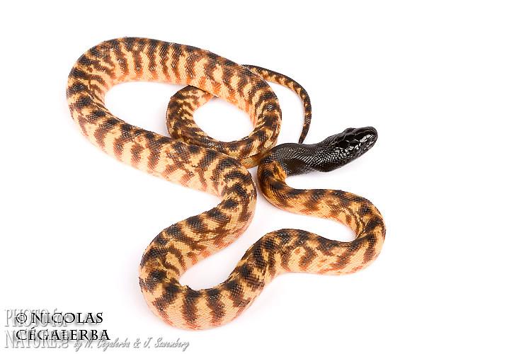 Jeune Python à tête noire, Aspidites melanocephalus