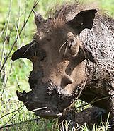 Warthogs - Ngiri (Pumba)