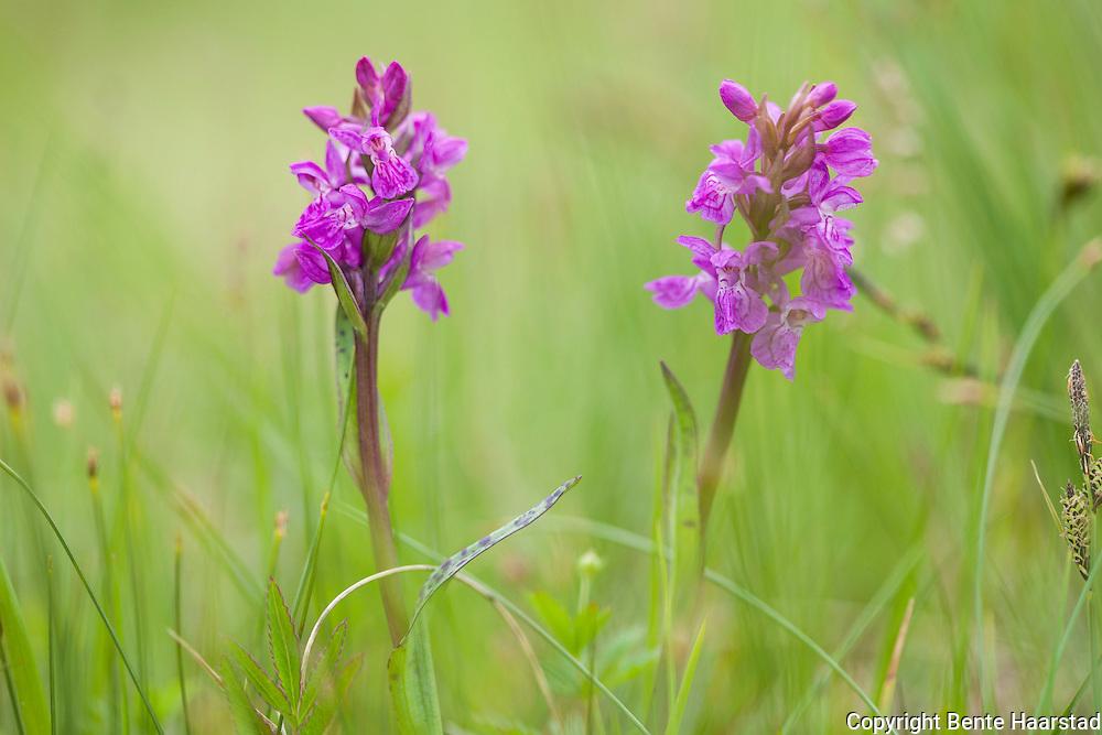 Orkideen blodmarihånd, Dactylorhiza incarnata ssp. cruenta. Sølendet naturreservat, Røros i Sør-Trøndelag. Det sies også at blodmarihånd nå sies å være samme art som engmarihånd (Dactylorhiza incarnata).
