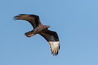 Individual dark morph black Honey Buzzard Pernis apivorus in flight against blue sky