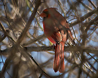 Northern Cardinal. Image taken with a Nikon D2xs camera and 80-400 mm VR lens (ISO 100, 400 mm, f/5.6, 1/500 sec).