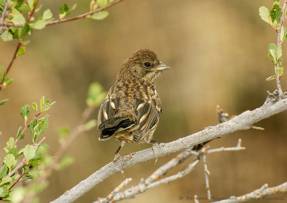 Spotted Towhee [Pipilo maculatus] fledgling; Fremont County, Colorado