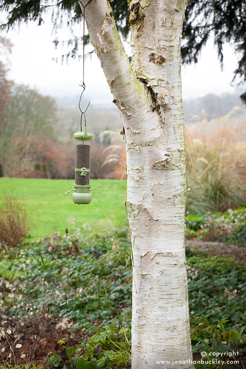 Birdfeeder hanging from silver birch tree