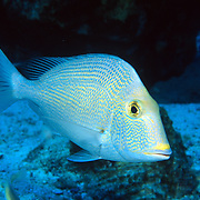 Knobbed Porgy inhabit reefs and adjacent areas of sand and seagrasses in Tropical West Atlantic; picture taken Flower Gardens, Gulf of Mexico.