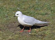 Ross's Gull - Rhodostethia rosea