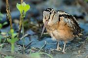 American Woodcock, Scolopax minor, Ottawa County, Ohio