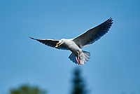 Western Gull (Larus occidentalis) in flight with shellfish, , Chemainus , British Columbia, Canada