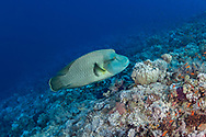 Humphead wrasse-Napoléon (Cheilinus undulatus) of Red Sea.
