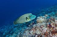 Humphead wrasse-Napoléon (Cheilinus undulatus) of Red Sea.
