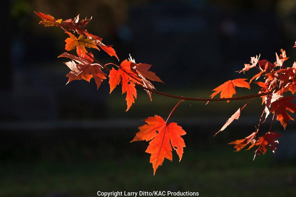 Red Maple (Acer rubrum) leaves, autumn, Arkansas