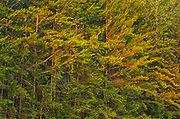 Jack pine trees at sunset<br />Duck Mountain Provincial Park<br />Manitoba<br />Canada