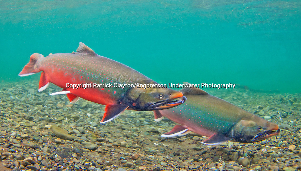 Dolly Varden (spawning pair)<br /> <br /> Patrick Clayton/Engbretson Underwater Photography