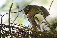Eurasian sparrowhawk, Accipiter nisus, Épervier d'Europe