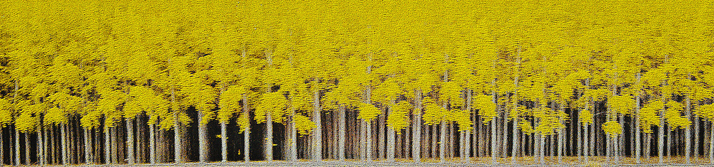 rows of evenly spaced Hybrid Poplar trees in a cultivated grove, (Populus) Cottonwood, Boardman, Oregon, USA panorama digital painting texture