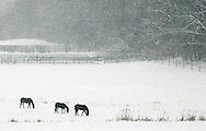 Three horses graze in the field off Hill Road in Goshen during a snowstorm on Feb. 22, 2008.