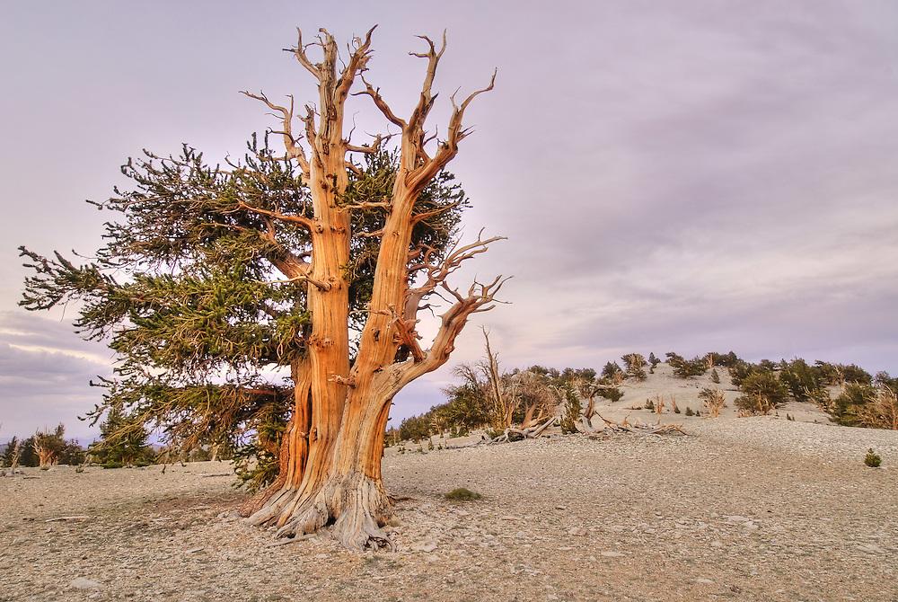 Bristlecone Pine, Pinus longaeva, in the Patriarch Grove of the White Mountain Bristlecone Pine forest.