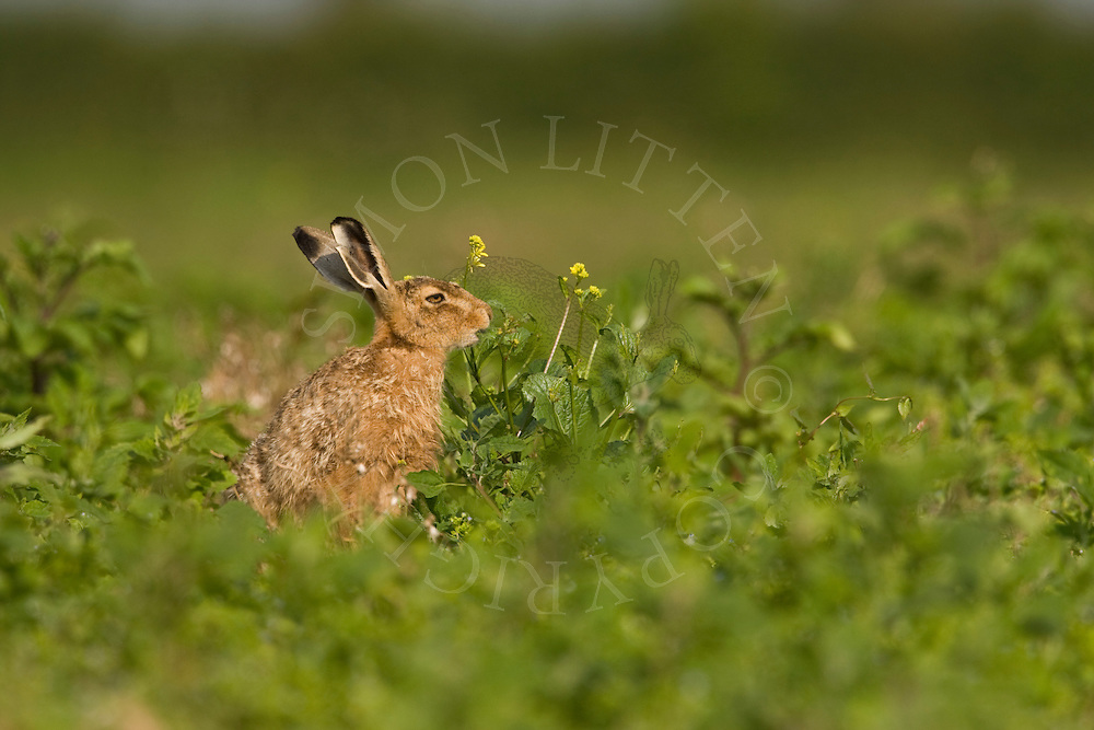 European Hare (Lepus europaeus) feeding in crop field, Norfolk, UK.