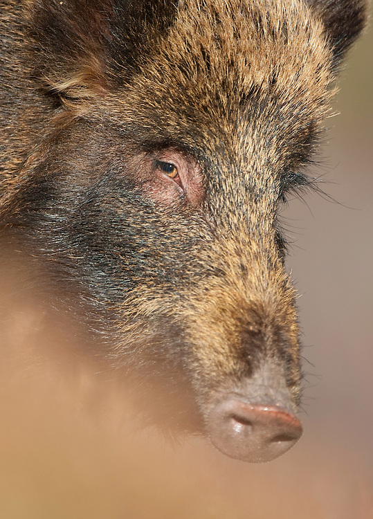 Wild boar (Sus scrofa) foraging in heather, Alladale Wilderness Reserve, Scotland. Photographed in a fenced reserve.