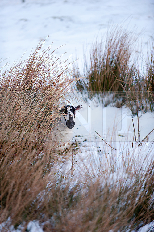 © London News Pictures. 30/01/2015. Mynydd Epynt, Powys, Wales, UK. A lonely Beulah Speckled Face Ewe shelters from the biting wind on the high moorland of the Mynydd Epynt moorland range of hills in Powys, Mid Wales. Photo credit : Graham M. Lawrence/LNP.
