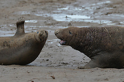 © Licensed to London News Pictures. 19/11/2015. North Somercotes, UK. A female and male seal square up to each other at Donna Nook Nature Reserve, North Somercotes, Lincolnshire. Every November and December the grey seals come ashore and give birth to their pups near to the sand dunes at the reserve. Photo credit : Anna Gowthorpe/LNP