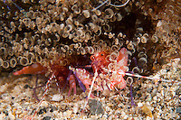 Red Snapping Shrimp in Corkscrew Anemone...Shot in British Virgin Islands