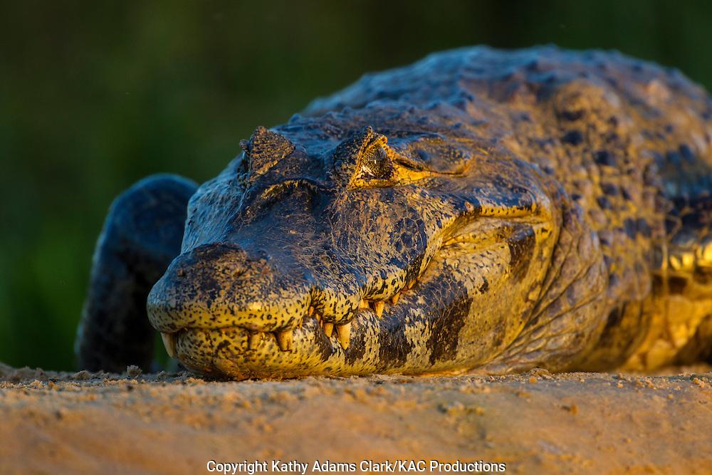 Brazil; Caiman; Caimaninae; Jacare caiman; Jacare caiman; Mato Grosso; Pantanal