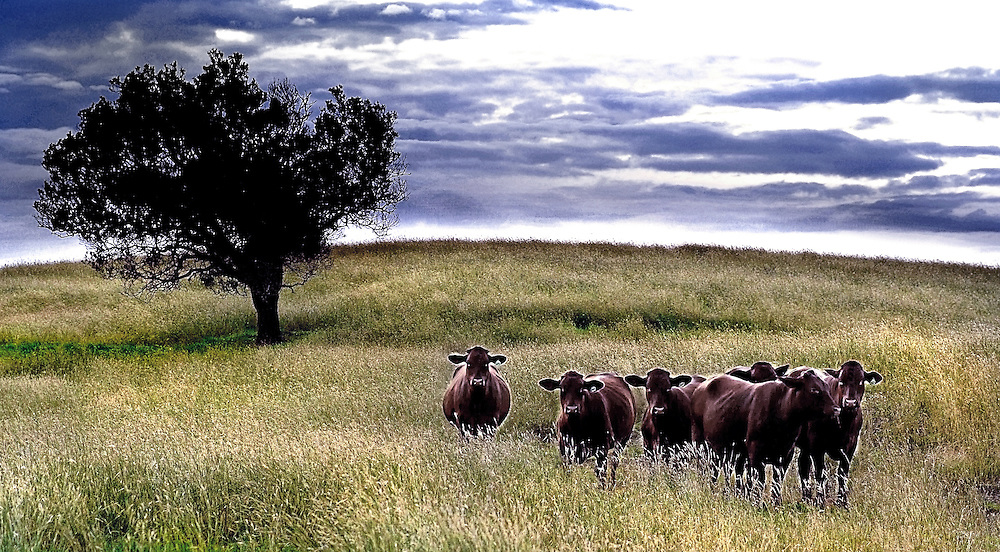 Cattle grazing on a rounded hill with lush grass,Laidley, Brisbane, Australia