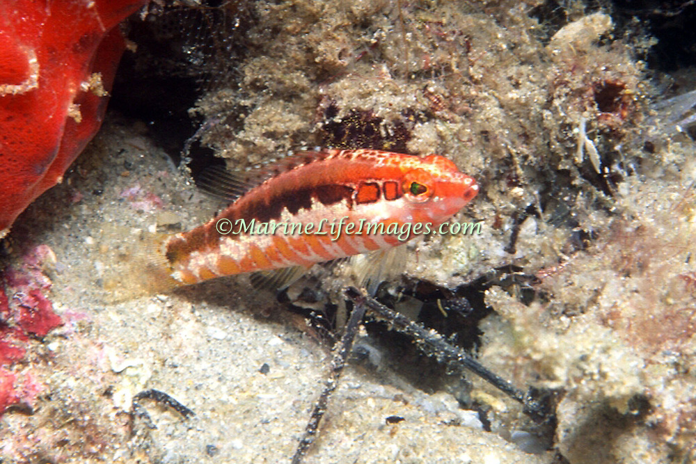 Orangeback Bass inhabit deep reefs and rocky areas, rarely above 100 ft, in Tropical West Atlantic; picture talen Palm Beach, FL.