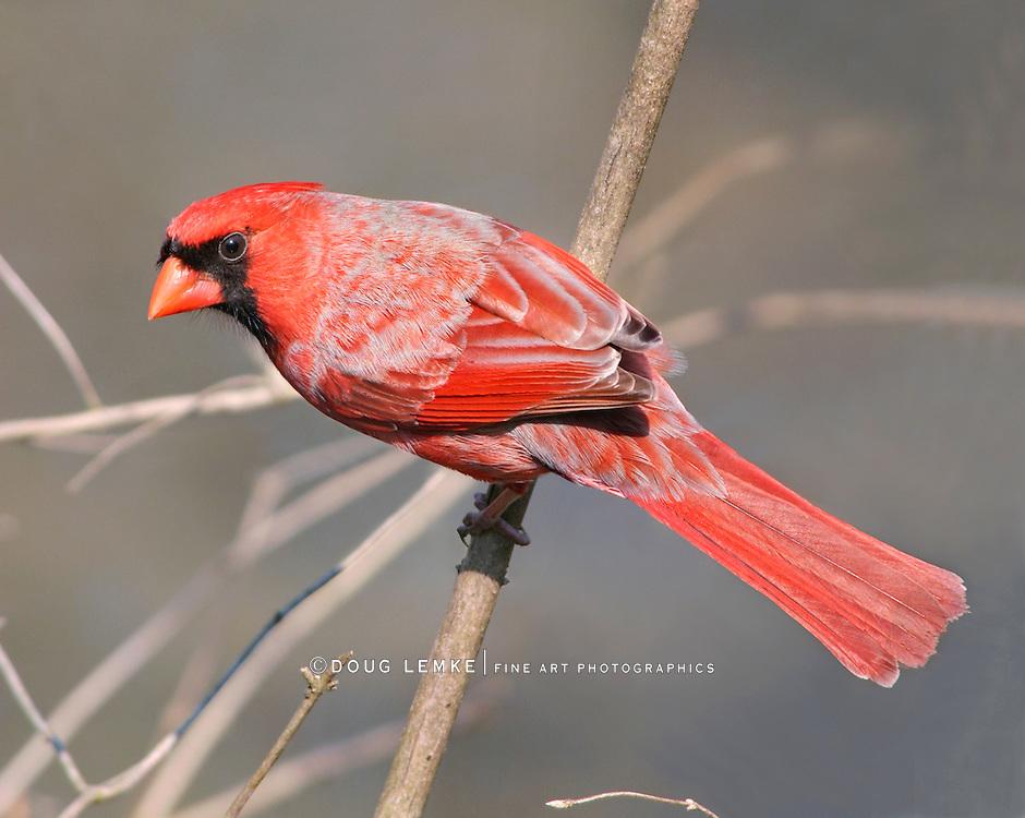 Red Bird, A Northern Cardinal Male Watching Me Very Carefully, Cardinalis cardinalis
