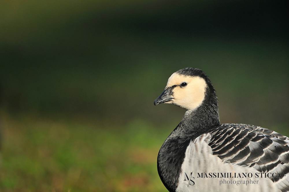 The Barnacle Goose (Branta leucopsis) belongs to the genus Branta of black geese, which contains species with largely black plumage, distinguishing them from the grey Anser species. Despite its superficial similarity to the Brent Goose, genetic analysis has shown it is an eastern derivative of the Cackling Goose lineage.