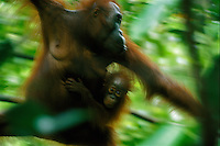 A female Bornean Orangutan (Pongo pygmaeus) named Beth moves through the forest carrying her juvenile.  Gunung Palung N.P., Borneo, Indonesia