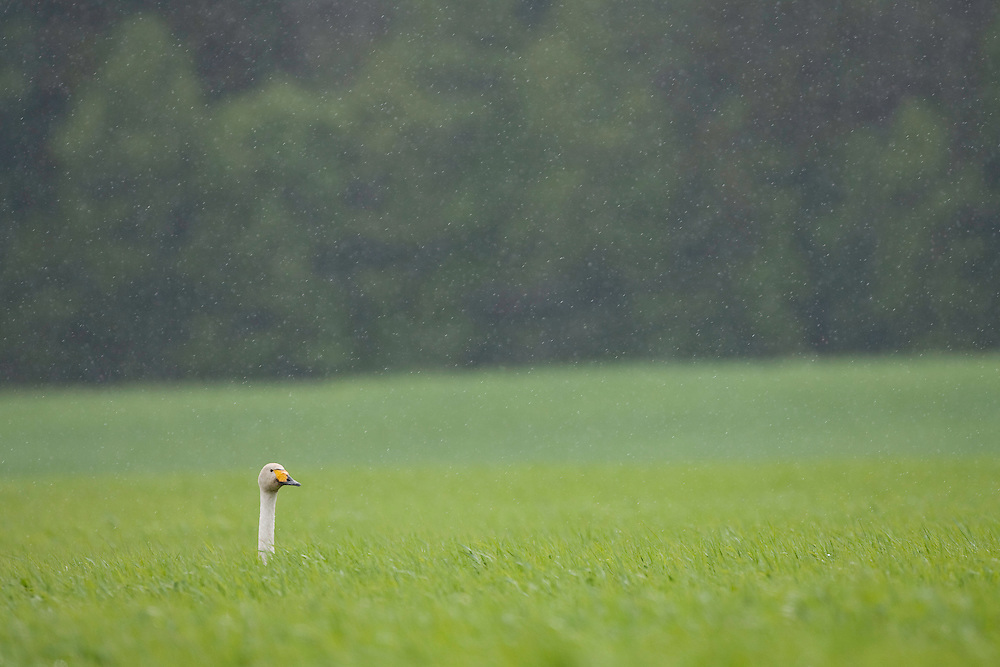 Whooper swan (Cygnus cygnus) in torrential spring downpour, Bergslagen, Sweden.