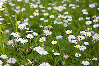 daisy, daisies, wild, flower, flowers, garden, grass, field, close up, detail, lots, pretty, fresh, summer,