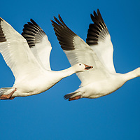 USA, New Mexico, Bosque del Apache National Wildlife Refuge, Snow Geese (Chenhyperborea hyperborea) in flight side by side on winter afternoon