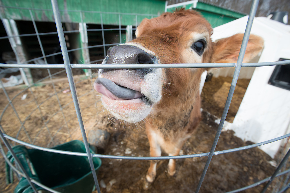 Calf with tongue out in fenced-in calf pen in Street, Maryland
