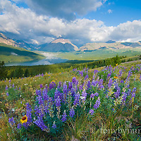 blackfeet reservation wildflowers, rising wolf glacier park