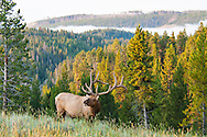 An elk walks along a hillside on a foggy morning