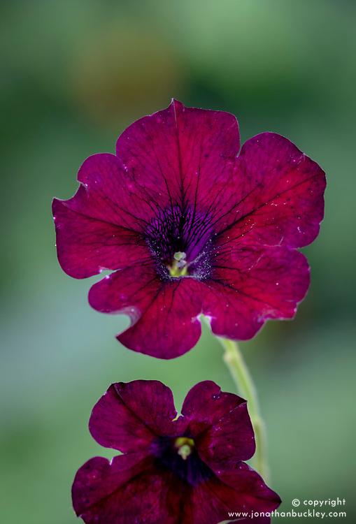 Petunia 'Burgundy'
