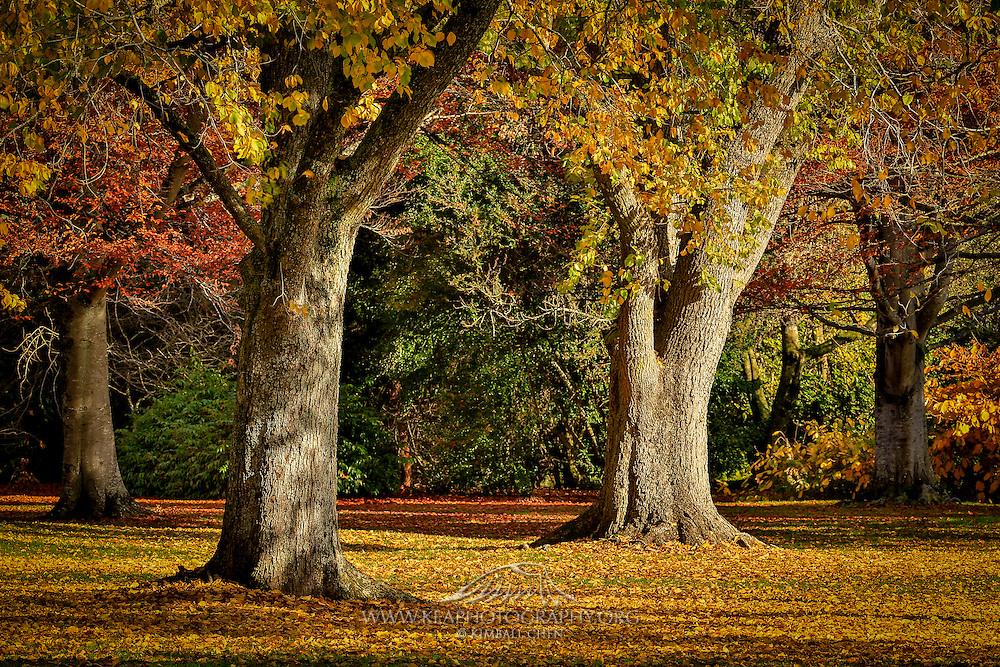 Golden fall colors in autumn in Queens Park, Invercargill