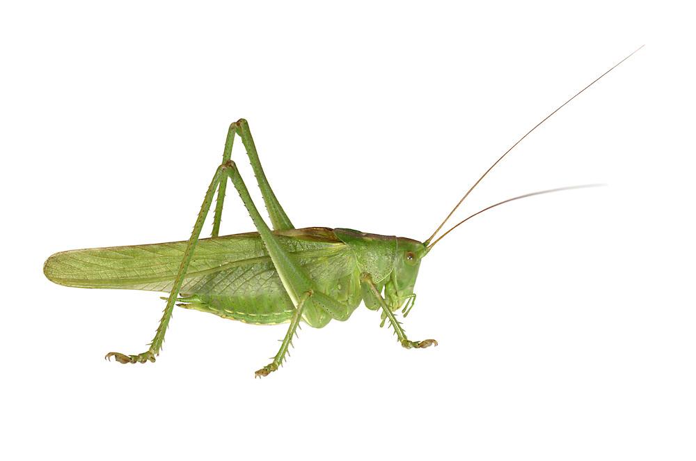 Great Green Bush-cricket - Tettigonia viridissima