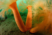 Plumose Anemone (Metridium senile). Gullmarsfjorden is located at Sweden's west coast and reaches depths of up to 120 m. Many boulders can be found on the sandy ground. They offer attachment substrate for many organisms including anemones, tunicates and red algae. [size of single organism: 20 cm]. Gullmarsfjorden, Sweden. | Seenelke (Metridium senile). Der Gullmarsfjord an der Westküste Schwedens ist bis zu 120 m tief. Auf dem sandigen Boden liegen verteilt viele große Steine: ideale Ansiedlungsbedingungen für Seenelken, Manteltiere und Rotalgen. Gullmarsfjord, Schweden.
