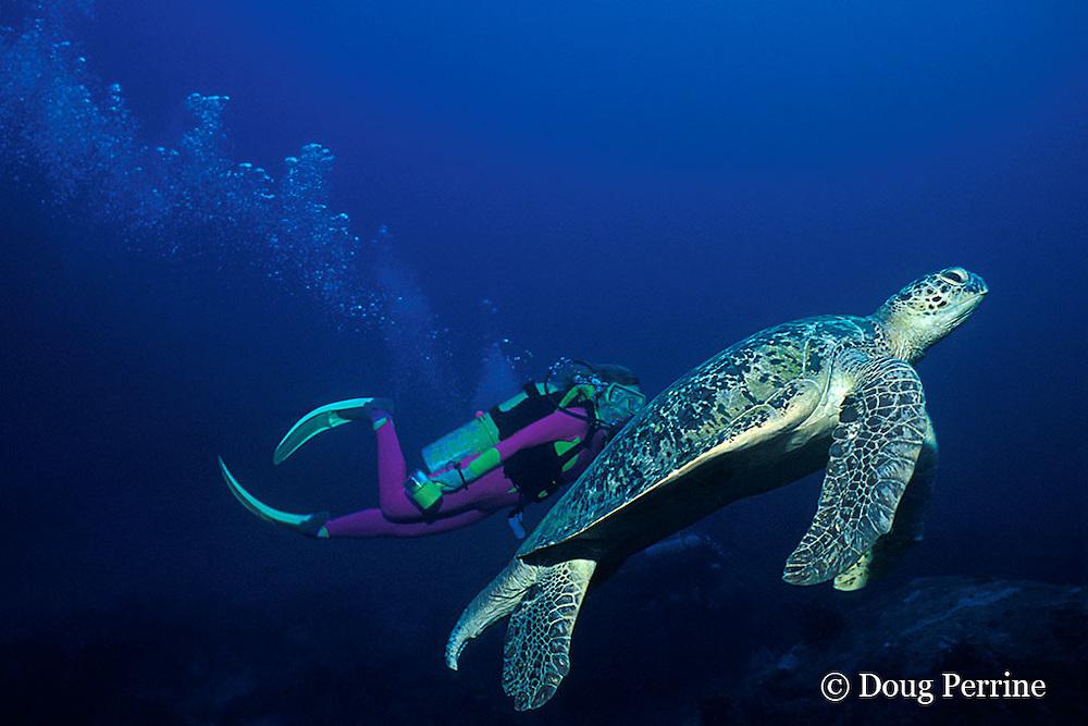 green sea turtle, adult male, Chelonia mydas,  Similan Islands, Thailand ( Andaman Sea - Indian Ocean ) MR 226